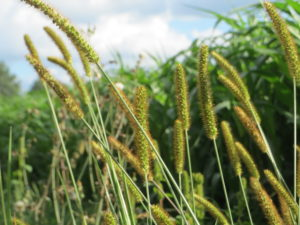Image of foxtail